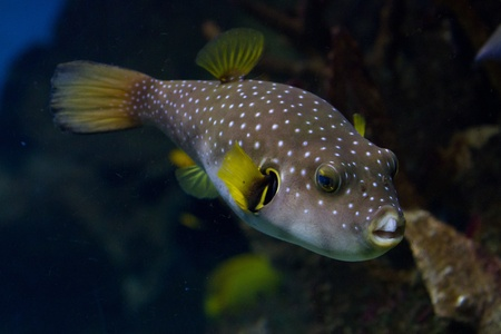 arothron: The White-Spotted puffer, Arothron Hispidus, a medium sized fish, light grey in color with small white spots. It also has concentric contrasting white and dark grey lines that radiate around the eyes and pectoral fins, and this pattern gave rise to its al
