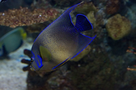 Blue tropical fish underwater photo