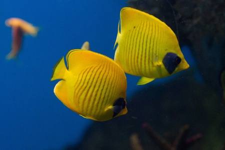 pomacanthus imperator: Yellow angel fish