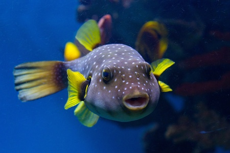 The White-Spotted puffer, Arothron Hispidus, a medium sized fish, light grey in color with small white spots. It also has concentric contrasting white and dark grey lines that radiate around the eyes and pectoral fins, and this pattern gave rise to its al