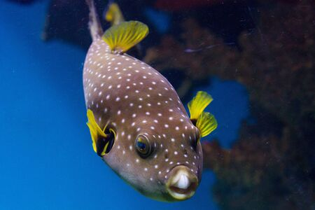 spotted ray: The White-Spotted puffer, Arothron Hispidus, a medium sized fish, light grey in color with small white spots. It also has concentric contrasting white and dark grey lines that radiate around the eyes and pectoral fins Stock Photo