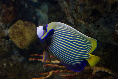 Blue and yellow stripped angel fish Stock Photo - 11873069