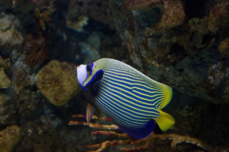Blue and yellow stripped angel fish photo