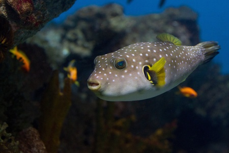 The White-Spotted puffer, Arothron Hispidus, a medium sized fish, light grey in color with small white spots. It also has concentric contrasting white and dark grey lines that radiate around the eyes and pectoral fins photo