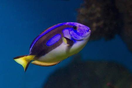 hepatus: Dory from Nemo cartoon is a blue, black and yellow fish-surgeon or blue regal tang (paracanthurus hepatus). Stock Photo