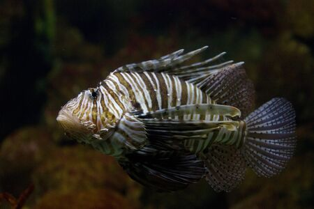 The red lionfish (Pterois volitans) venomous coral reef fish is clad in white stripes alternated with red, maroon, or brown. The fish has fleshy tentacles that protrude from both above the eyes and below the mouth Stock Photo - 11873326