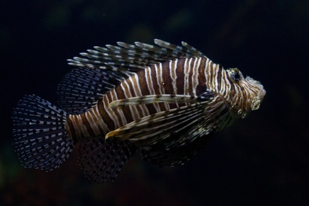 dragonfish: The red lionfish (Pterois volitans) venomous coral reef fish is clad in white stripes alternated with red, maroon, or brown. The fish has fleshy tentacles that protrude from both above the eyes and below the mouth Stock Photo