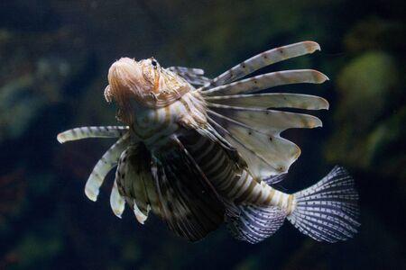 charnu: La rascasse volante rouge (Pterois volitans) venimeuse poissons des r�cifs coralliens est v�tu de rayures blanches alternent avec des rouges, marron, ou marron. Le poisson a des tentacules charnus qui d�passent de deux au-dessus des yeux et en dessous de la bouche Banque d'images