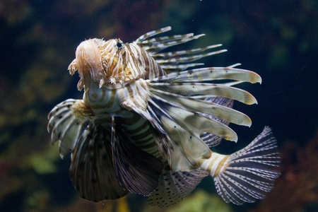turkeyfish: The red lionfish (Pterois volitans) venomous coral reef fish is clad in white stripes alternated with red, maroon, or brown. The fish has fleshy tentacles that protrude from both above the eyes and below the mouth Stock Photo