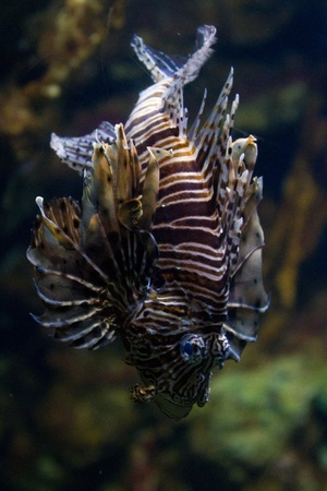 dragonfish: The red lionfish (Pterois volitans) venomous coral reef fish is clad in white stripes alternated with red, maroon, or brown. The fish has fleshy tentacles that protrude from both above the eyes and below the mouth. The pectoral fin is present in a distinc Stock Photo