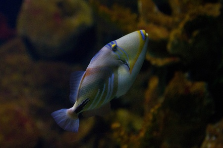The lagoon triggerfish (Picasso triggerfish, Rhinecanthus aculeatus, blackbar triggerfish, Picassofish, Jamal) is a triggerfish, found on reefs in the Indo-Pacific region. Stock Photo - 11872995