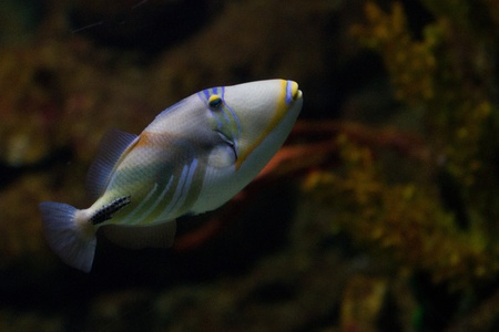 The lagoon triggerfish (Picasso triggerfish, Rhinecanthus aculeatus, blackbar triggerfish, Picassofish, Jamal) is a triggerfish, found on reefs in the Indo-Pacific region. photo