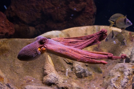 Sepia is a genus of cuttlefish in the family Sepiidae encompassing some of the best known and most common species. The cuttlebone is relatively ellipsoid in shape. The name of the genus is the Latinized form of the Ancient Greek σηπί&# Stock Photo - 11873137