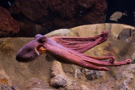 Sepia is a genus of cuttlefish in the family Sepiidae encompassing some of the best known and most common species. The cuttlebone is relatively ellipsoid in shape. The name of the genus is the Latinized form of the Ancient Greek σηπί&#