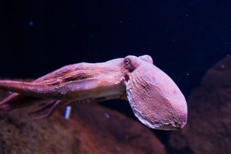 Sepia is a genus of cuttlefish in the family Sepiidae encompassing some of the best known and most common species. The cuttlebone is relatively ellipsoid in shape. The name of the genus is the Latinized form of the Ancient Greek σηπί&# photo