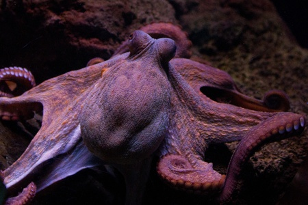cuttlefish: Sepia is a genus of cuttlefish in the family Sepiidae encompassing some of the best known and most common species. The cuttlebone is relatively ellipsoid in shape. The name of the genus is the Latinized form of the Ancient Greek σηπί&#