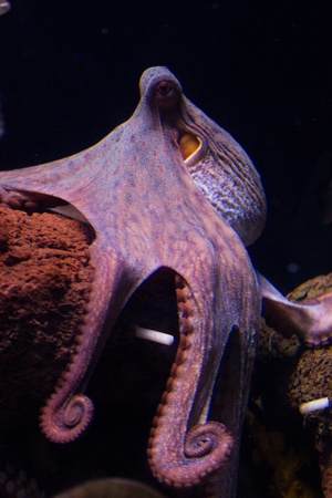 Sepia is a genus of cuttlefish in the family Sepiidae encompassing some of the best known and most common species. The cuttlebone is relatively ellipsoid in shape. The name of the genus is the Latinized form of the Ancient Greek  Standard-Bild