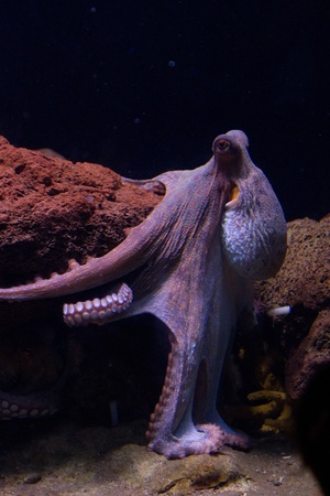 Sepia is a genus of cuttlefish in the family Sepiidae encompassing some of the best known and most common species. The cuttlebone is relatively ellipsoid in shape. The name of the genus is the Latinized form of the Ancient Greek  photo