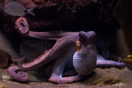 tentacles: Sepia es un g�nero de calamar en el Sepiidae familia que abarca algunas de las especies m�s conocidas y m�s comunes. La jibia es relativamente un elipsoide. El nombre del g�nero es la forma latinizada del griego antiguo