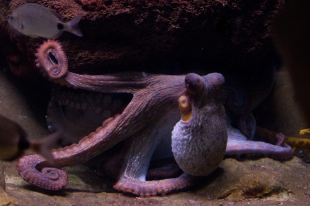squids: Sepia is a genus of cuttlefish in the family Sepiidae encompassing some of the best known and most common species. The cuttlebone is relatively ellipsoid in shape. The name of the genus is the Latinized form of the Ancient Greek  Stock Photo