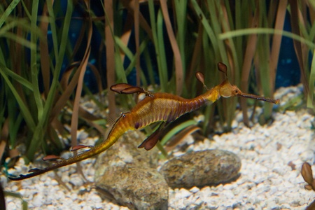 Phyllopteryx taeniolatus, the Weedy Seadragon or Common Seadragon, marine fish related to the seahorse photo