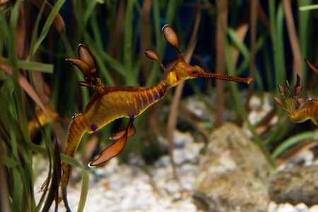 Phyllopteryx taeniolatus, the Weedy Seadragon or Common Seadragon, marine fish related to the seahorse Stock Photo - 11897158