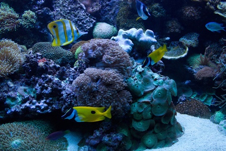 Foxface Rabbitfish (Siganus vulpinus) in the aquarium