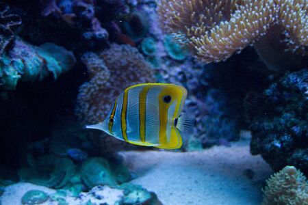 pomacanthus imperator: White and yellow stripped angel fish Stock Photo