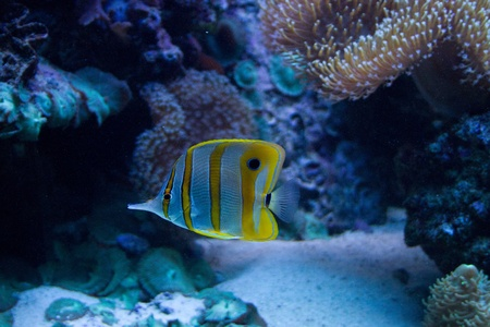White and yellow stripped angel fish photo