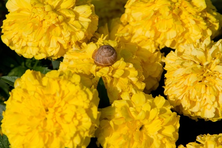 Snail on yellow flowers photo