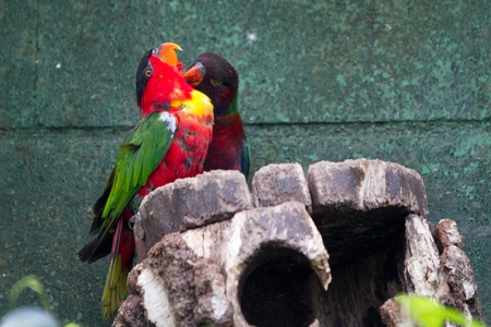 Close-up of a colorful parrot over grayish background photo