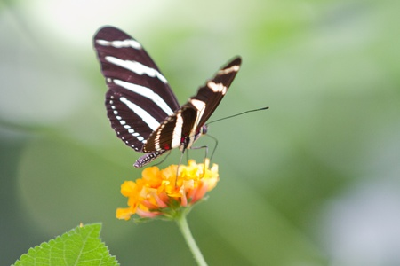 Closeup of black and white butterfly