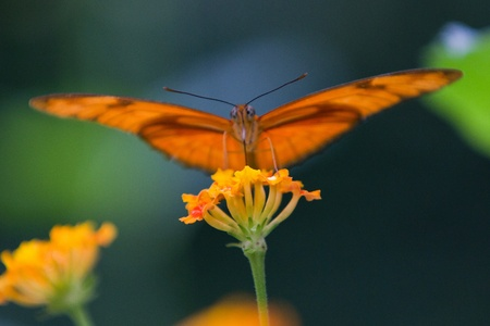 Close-up of an orange butterfly photo