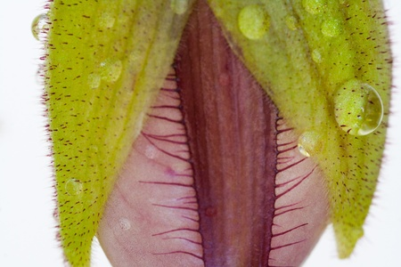 Macro of orchid bud with water drops Stock Photo - 12085201