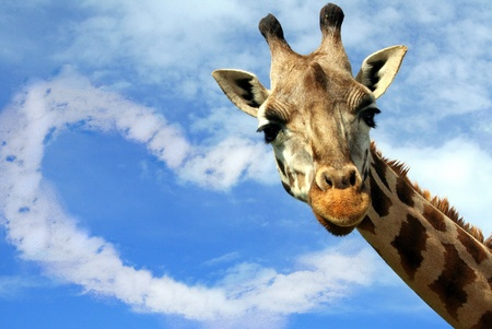 Portrait of a curious giraffe over blue ski with a heart-shaped cloud photo