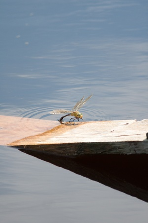 Dragon Fly (Anisoptera), Damselfly (Zygoptera) next to water