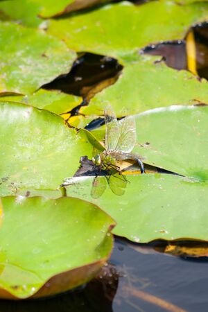 Dragon Flies (Anisoptera) and Damselflies (Zygoptera) next to water