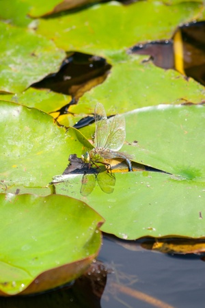zygoptera: Dragon Flies (Anisoptera) and Damselflies (Zygoptera) next to water