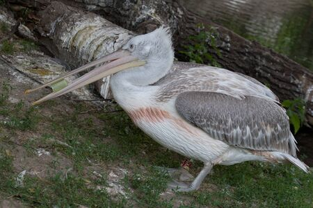 endothermic: Pink-backed Pelican (Pelecanus rufescens)  by the lake. Stock Photo