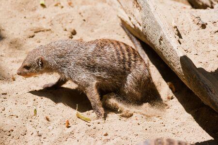 herpestidae: Mongoose  Herpestidae  in the sand