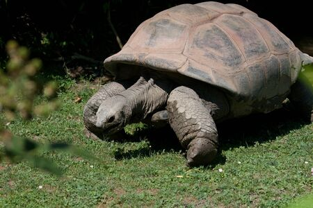 plastron: Tortoise  land turtle , land-dwelling reptile of the family of Testudinidae, order Testudines