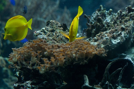 The yellow tang  Zebrasoma flavescens  is a saltwater fish species of the family Acanthuridae  surgeonfish family  photo