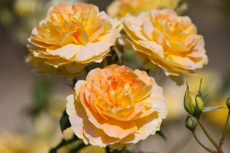 Yellow garden roses photo