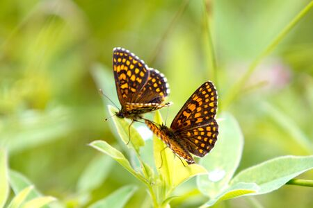 Orange, brown and golden High Brown Fritillary  Fabriciana adippe  butterfly, also called brush-footed butterflies or four-footed butterflies in a green field photo