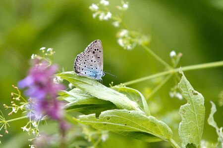 Close-up of an orange and grey Coenonympha glycerin Butterfly on a green plant Stock Photo