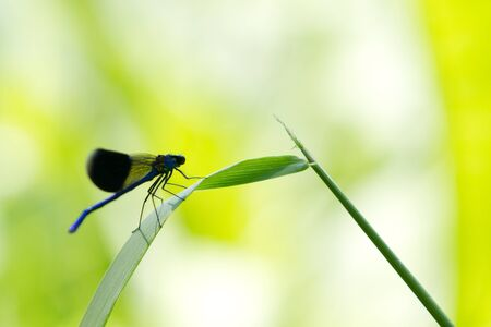 Dark blue dragon fly on a green leaf photo