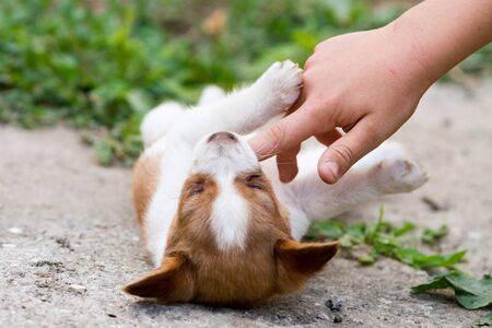 Brown and white puppy in the grass playing with a child s hand photo