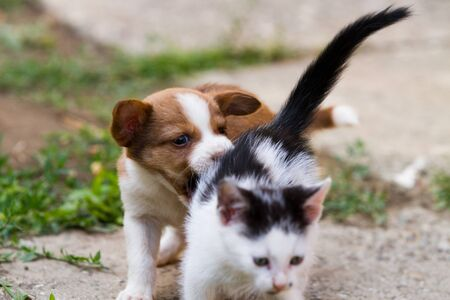 Brown and white puppy playing with black and white kitten photo