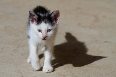 Black aand white kitten walking towards the camera photo