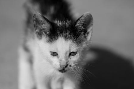 Black aand white kitten walking towards the camera photo